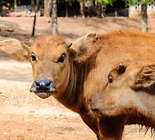 Young buffalo calves playing in Thailand by Stanciuc