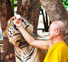 Buddhist monk feeding with milk a bengal tiger  by Stanciuc