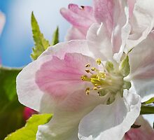 Beautiful Spring Apple Blossom by MrBennettKent