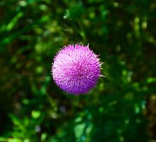 Pink Thistle Study 2  by Robert Meyers-Lussier