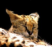 Sleeping Serval by Barnbk02