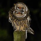 Long-Eared Owl (Asio otus) - II by Peter Wiggerman