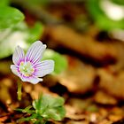 Mountain Woodsorrel by Kathleen Daley