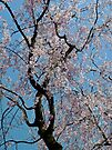 Cherry Blossoms by DarthIndy
