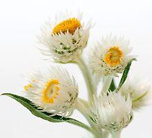 Helichrysium Elatum - White Paper Daisy by pcbermagui