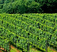 Summer Vineyard - 2    ^ by ctheworld