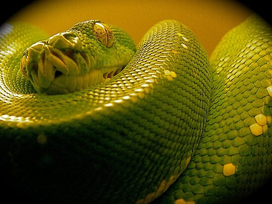 green tree python by mamba