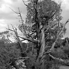 Old Tree 3 Colorado National Monument BW by marybedy