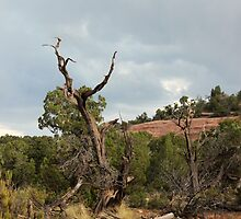 Old Tree 2 Colorado National Monument by marybedy