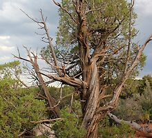 Old Tree 3 Colorado National Monument by marybedy