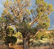 Old Tree 7 Colorado National Monument by marybedy