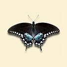 Spicebush Swallowtail by Mark Podger