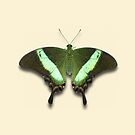 Emerald Swallowtail  by Mark Podger