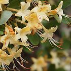 Honeysuckle Azalea by Linda  Makiej Photography