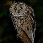 Long-Eared Owl (Asio otus) - IV by Peter Wiggerman