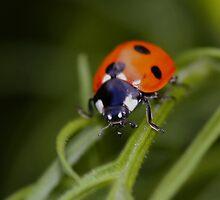 Ladybird Ladybird by AnnDixon