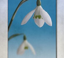 Galanthus nivalis by John Edwards