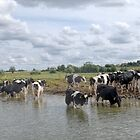 Cows Cooling off in the River Thames by lynn carter