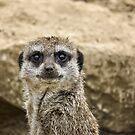 Meerkat by Vicki Field