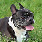 French Bulldog by AnnDixon