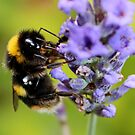 Bumble Bee & Lavender by AnnDixon