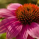 Purple Coneflower  by Nicole  Markmann Nelson