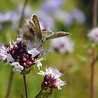 Common Blue Butterfly! by Lauren Tucker