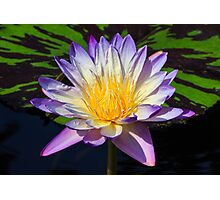 Beautiful Water Lily and Lily Pad Photographic Print
