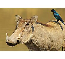 Hitching a Ride - Warthog and Starling - Wild Africa Photographic Print