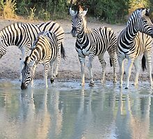 Zebra Reflection - Beautiful African Wildlife by LivingWild