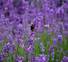 Lavender with bumble bee by LindaCooke