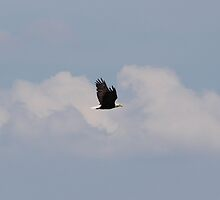 Bald Eagle in Flight by jad5805