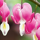 Bleeding Heart Flowers Hanging in a Row by Kenneth Keifer