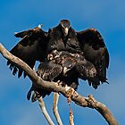 Copulating Wedge Tailed Eagles  2 Canberra Australia by Kym Bradley