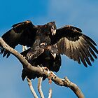 The landing  Copulating Wedge Tailed Eagles  2 Canberra Australia by Kym Bradley