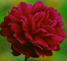 Red Rose Bokeh by James Brotherton