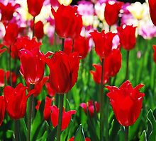 Tulip Bed by Kris  Kennedy