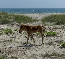 Newest member of the herd a Foal at shackleford banks, NC  by johnlackphoto