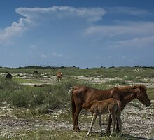 wild horses of shackleford banks by johnlackphoto