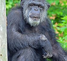 Most Interesting Ape in the World  by Cody  VanDyke