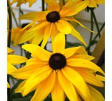 Black Eyed Susan Flower  by CapeCodGiftShop