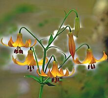 Canada Lilly, Wild flower by MrMagoo2