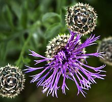 Looking Down on Thistle Flower by Billlee