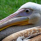 A Pelican Up Close by Jo Nijenhuis