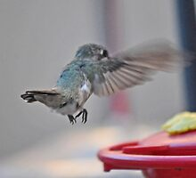 BABY ANNA'S IN FLIGHT TO FEEDER by JAYMILO