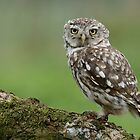 Little Owl (Athene noctua) - I by Peter Wiggerman
