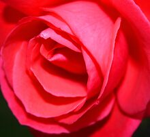 Last Rose by RedHillDigital