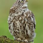Little Owl (Athene noctua) - III by Peter Wiggerman