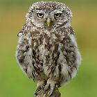 Little Owl (Athene noctua) - IV by Peter Wiggerman