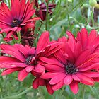 Red Cape Daisy Quartet by kathrynsgallery